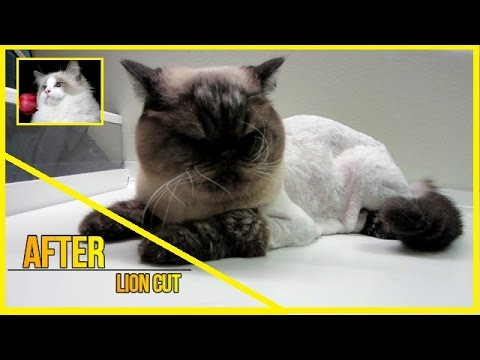 Exotic Short Hair cat - Lion Cut