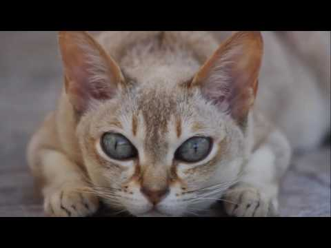 Singapura cat History,Personality,Health,Care