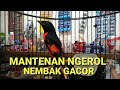 Mantenan Gacor Rol Tembak Masteran Joss  Mp3 - Mp4 Download