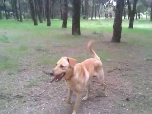 Cruce Pastor Aleman Con Labrador Youtube