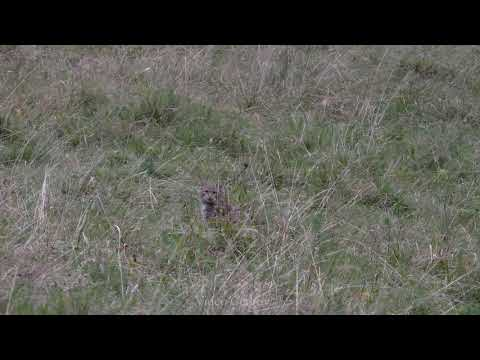 Kočka divoká - Video Čergov