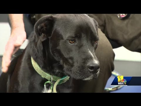 Max The Boxer-lab Mix Needs A Forever Home