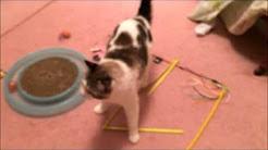 Cat having seizure (neurologic disease)