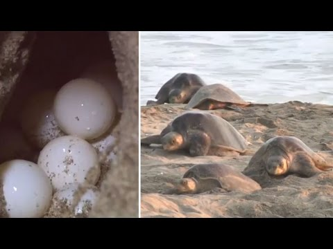 Endangered Olive Ridley marine turtles lay eggs on Mexican beach