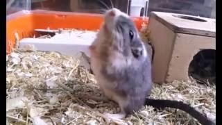 İzlenme Rekoru Kıran Top 10 Ölü Takliti Yapan Hamsterlar :)