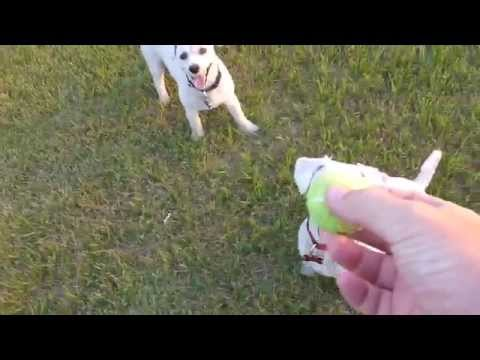 Two Bichon Frise Dogs Chasing each Other with a Ball