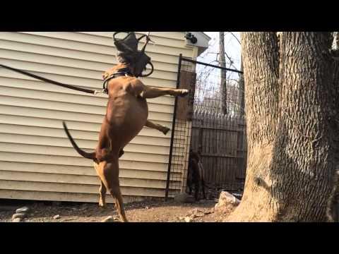 Muscle pitbull flexing week 2! Ddk9