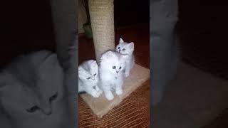 Чистокровные британские котята!