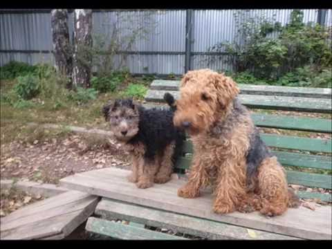 Welsh Terrier puppy and other different dogs.IX 2016.
