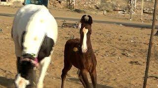 बच्चों को दिखायें प्यारा घोड़े का बच्चा Beautiful Marwari Colt Playing In Pushkar Horse Market