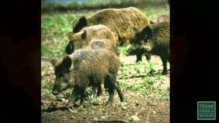 Plague of Pigs