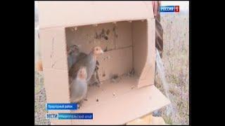 Особенности национальной охоты На Ставрополье охотники выпускают фазанов