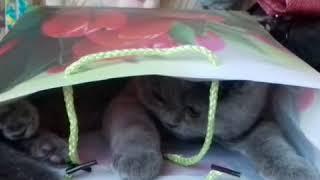 Британская кошка. Сидит в пакете.British cat!!!!!!