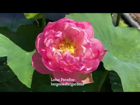 Huge Pink Lotus Youtube