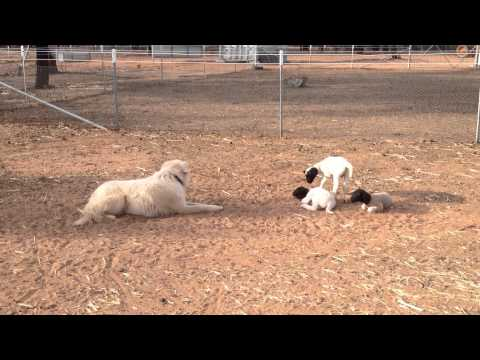 Rescued Maremma Casper introduces himself to new lambs