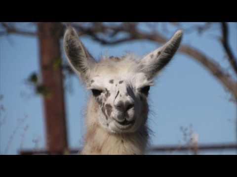 My New Llama!