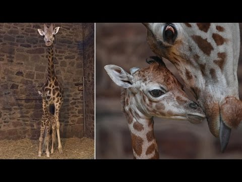 Rare Baby Giraffe Able To Stand, Just Minutes After Being Born