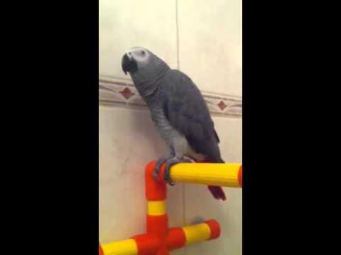 Grijze roodstaart papegaai Juno praat in de douche