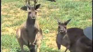 Kangaroos In Georgia Mountains - Kangaroo Farm