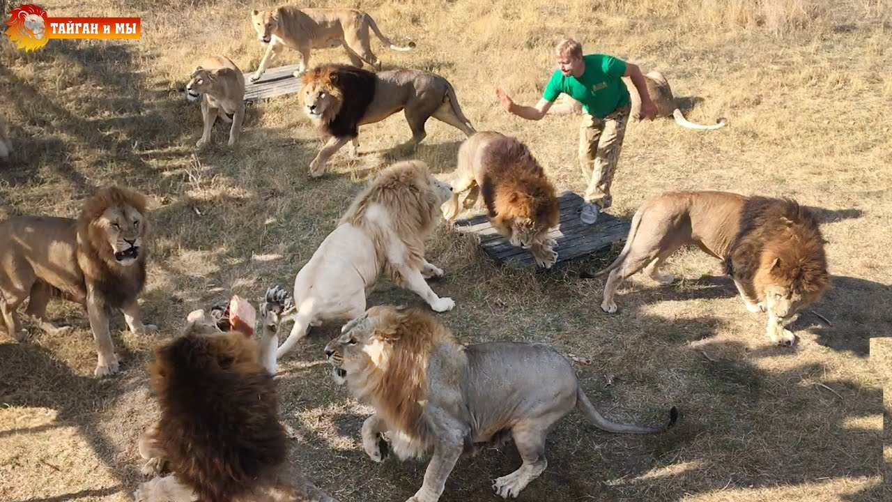 Morning feeding of lions in Taigan.