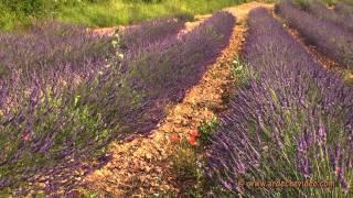 Ardèche - Champs de Lavande