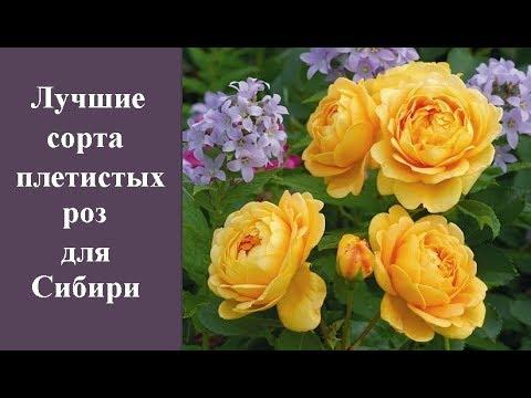 ❀ Лучшие сорта плетистых роз для Сибири и основные правила их посадки