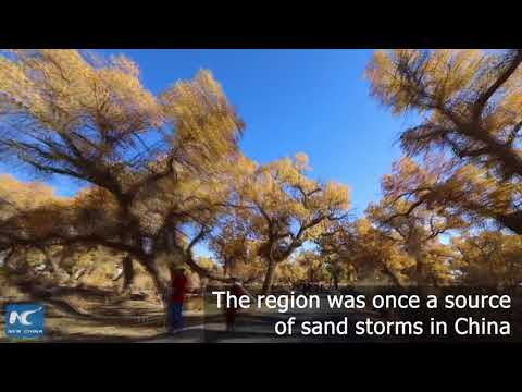 Amazing populus euphratica forest in N China