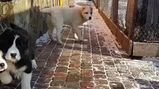 Щенок алабая среднеазиатской овчарки девочка Адель Гаяр Гаяс , Продажа ! ( купить щенка )