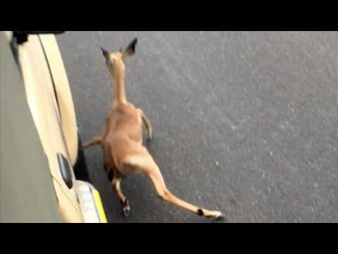 Wild Dogs Chase Impala Lamb Into Vehicle