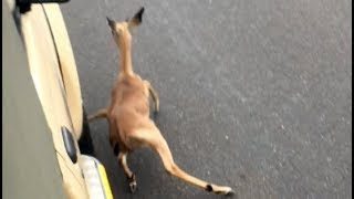 Wild Dogs Chase Impala Lamb Into Vehicle