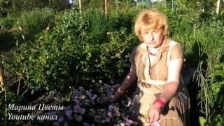видео Выращивание гвоздики травянки и уход за ней