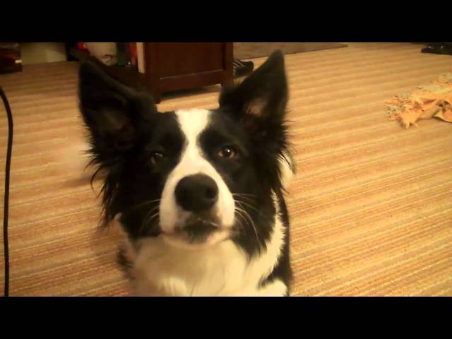 My border collie talking (woof, woof)