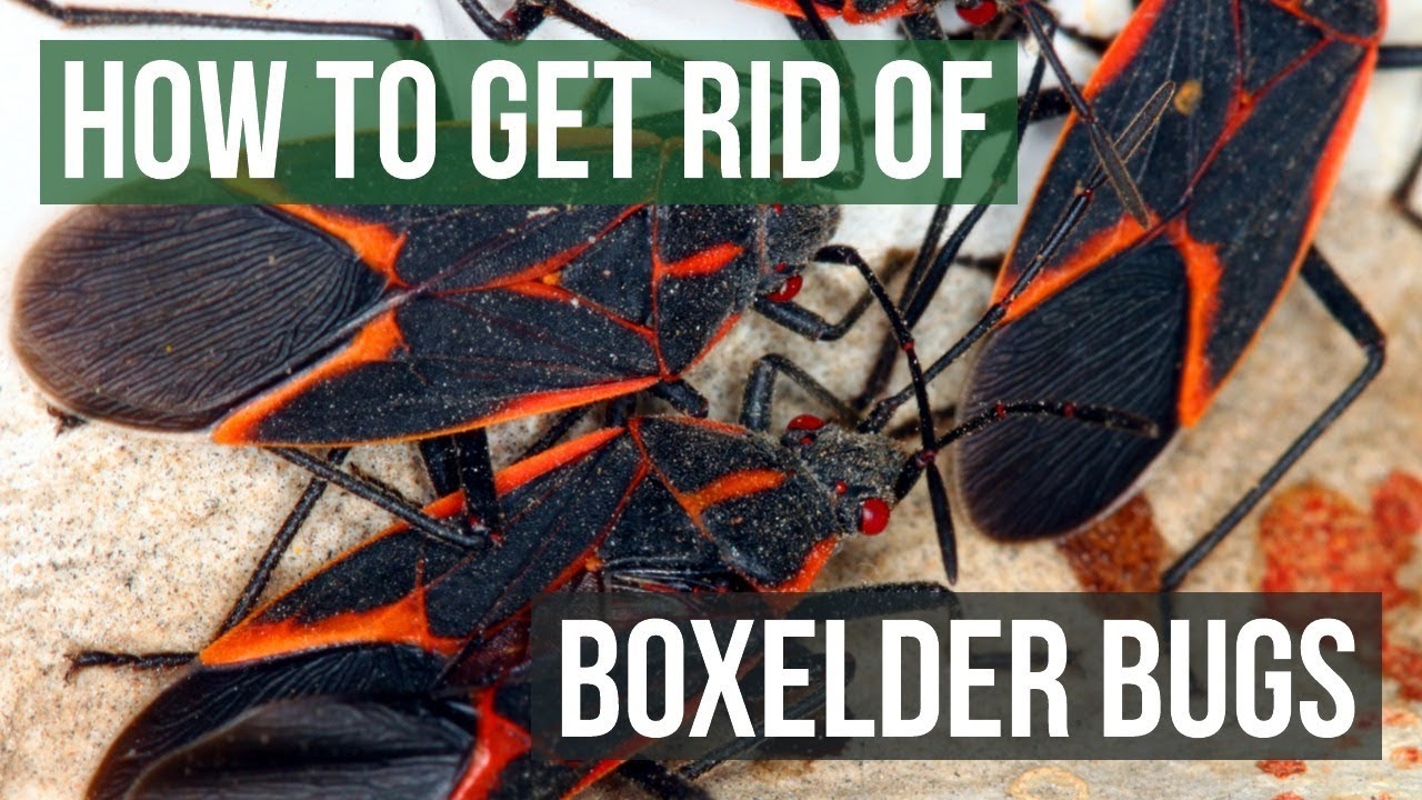 How To Get Rid Of Boxelder Bugs 4 Easy Steps Youtube