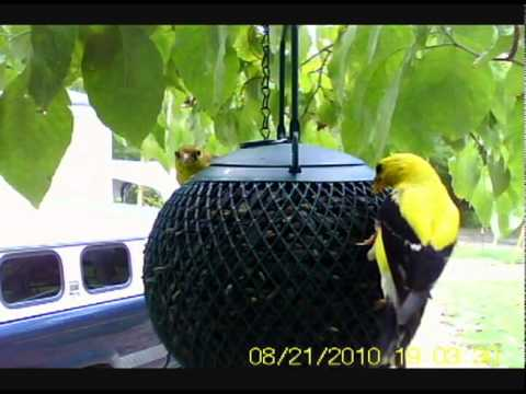 American Goldfinch at The Seed Ball from YouTube · Duration:  5 minutes 56 seconds