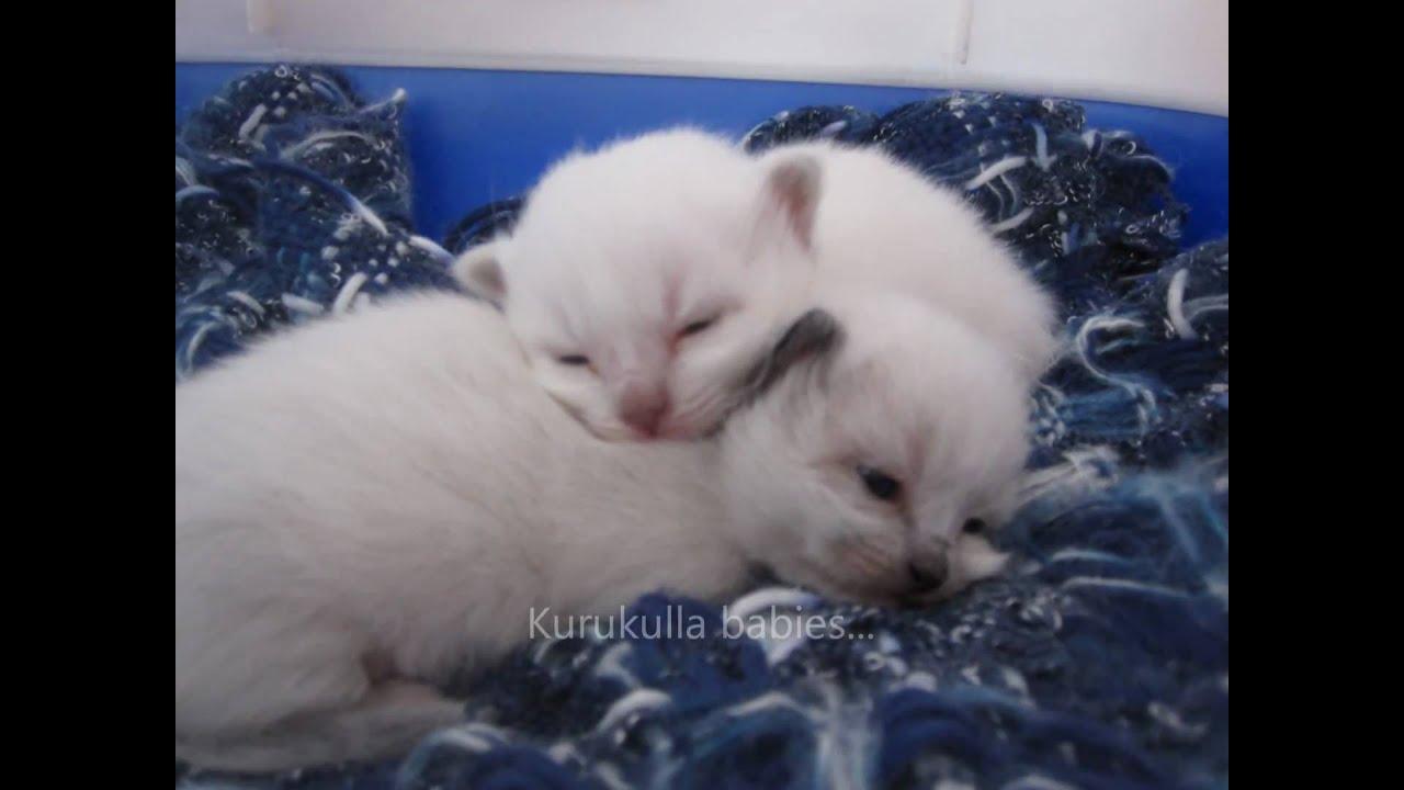 Allevamento Sacro Di Birmania A Palermo Kurukulla Cats Youtube