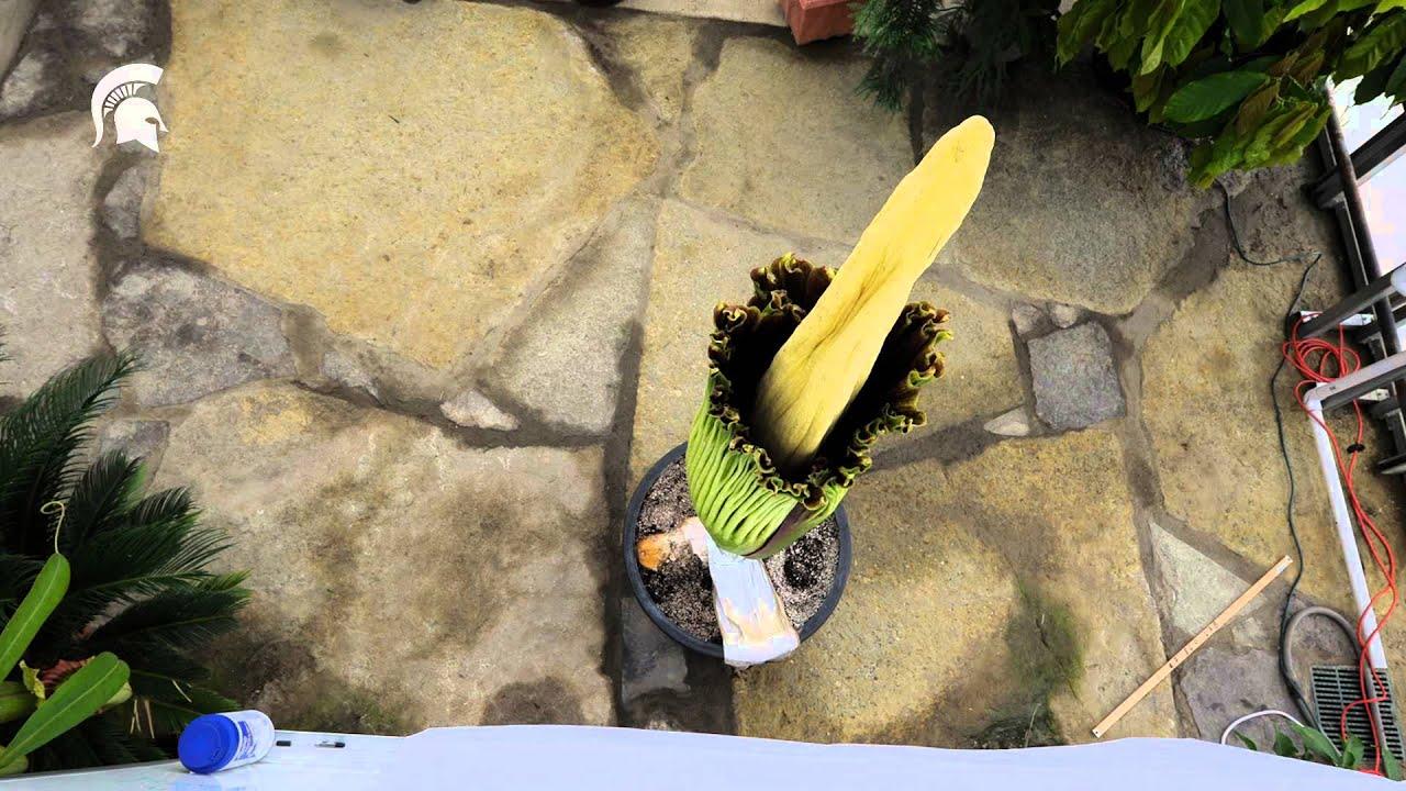 maxresdefault - Denver Botanic Gardens Corpse Flower Time Lapse