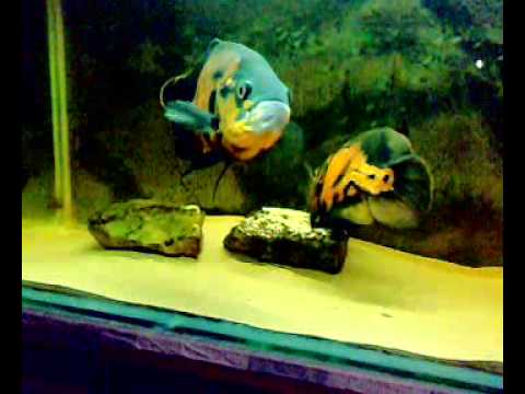 Skinless Boneless Sardines In Olive Oil also Lion Roaring Side View besides Neon tetra large also Tetra Fish additionally Watch. on oscar fish eggs