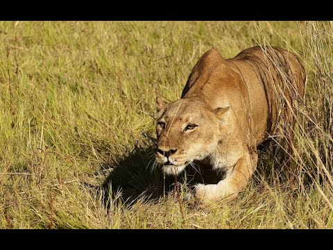 Lions on the Prowl : Nature Documentary on the Large African Predators (Full Documentary)