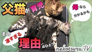 ベンガル猫な父猫ルイ。子猫の面倒をかなりみるイクメン。その理由のひ...