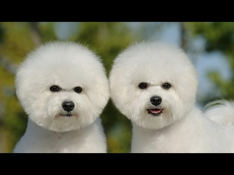 Bichon Frise Dog Review
