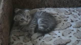 Шотландские котята (1 месяц)