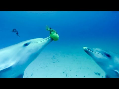 Dolphins Play Catch With A Pufferfish! | Spy In The Wild | BBC Earth Kids