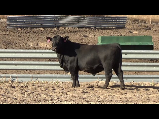 Connealy Angus Lot 224