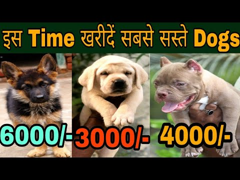 इस Time खरीदें सबसे सस्ते Dogs /Dog Price list in India/pittbull dog price  in India / dogs market