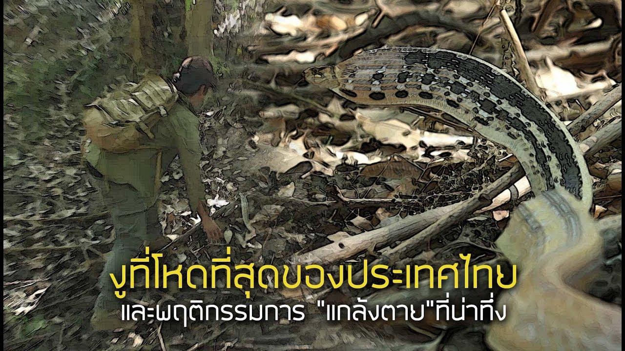 งูที่โหดที่สุดของประเทศไทย และการแกล้งตายที่น่าทึ่ง
