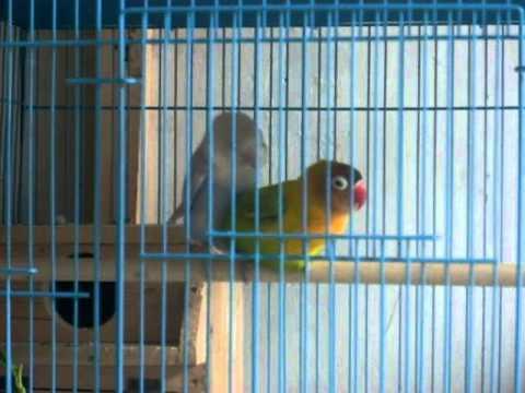 Lovebird beda warna kawin 2.MOV