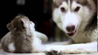 Siberian Husky Dog Breed ♥ Puppy And Mother ♥