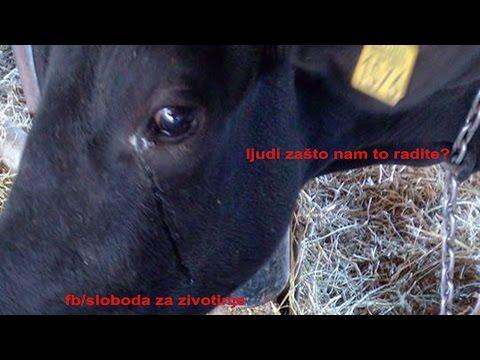 Logorski život mlečnih krava PKB-a