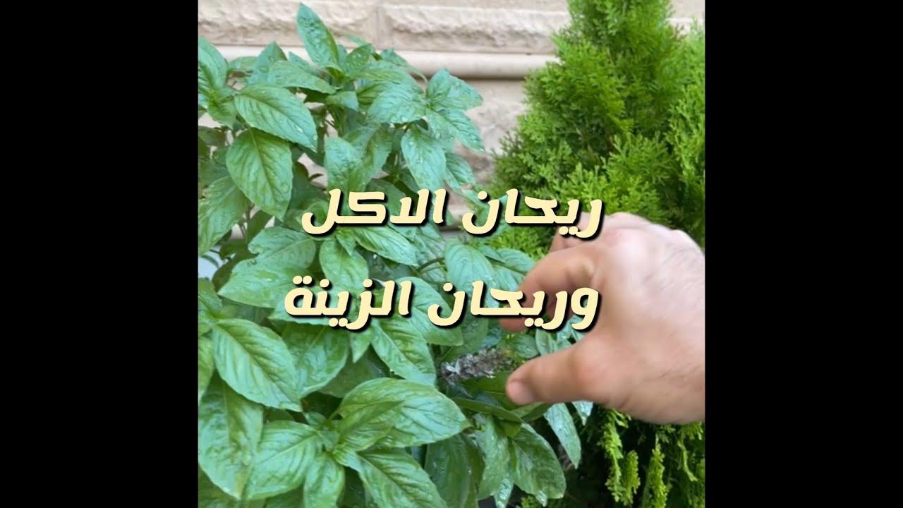 الفرق بين ريحان الأكل والزينة من سناب ايو مشاري