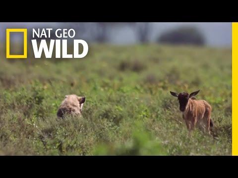 Baby Wildebeest Meets Baby Hyena | Destination WILD